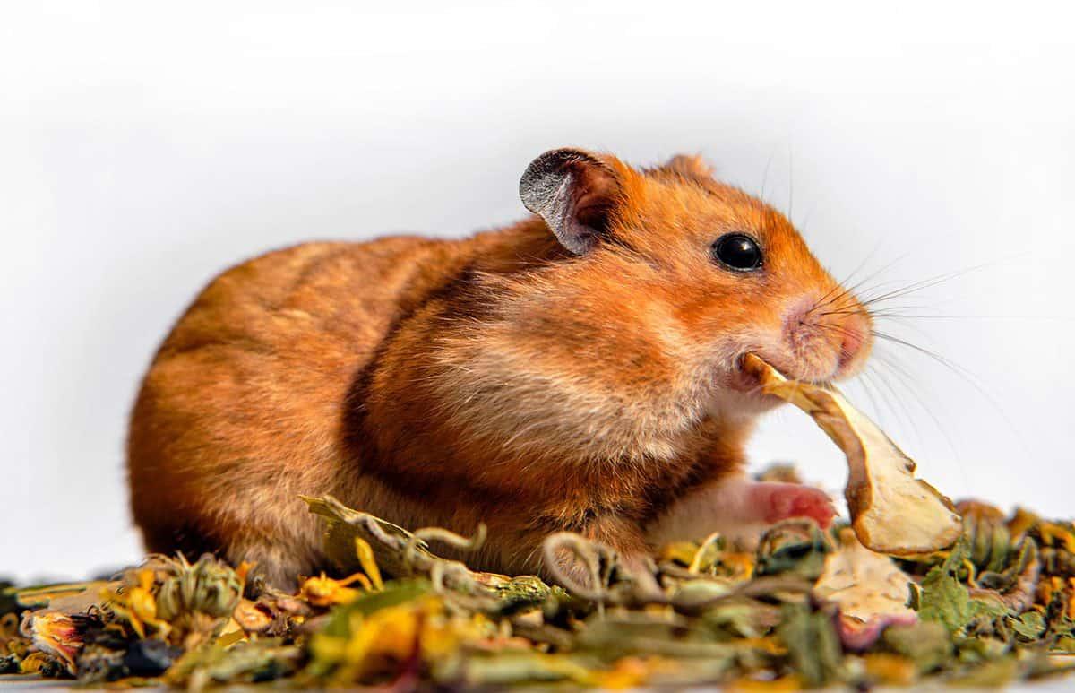 Syrian hamster grabs food