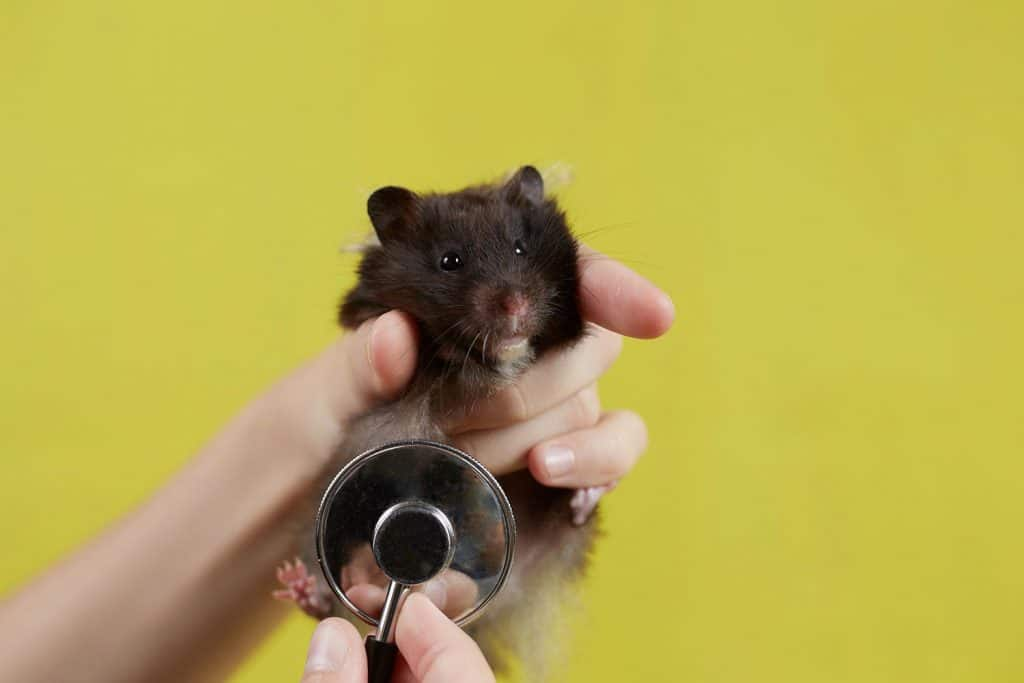 Syrian hamster is listening to a veterinarian with a stethoscope
