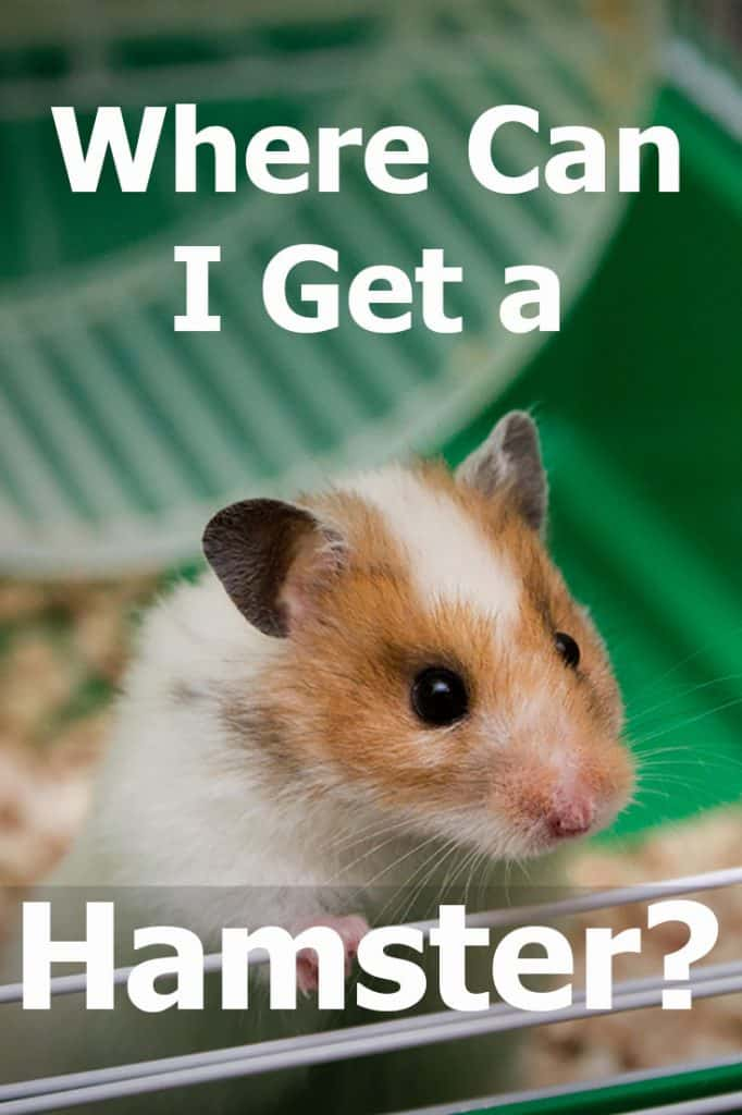 Where Can I Get a Hamster?