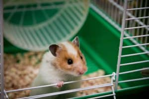 Where Can I Get a Hamster
