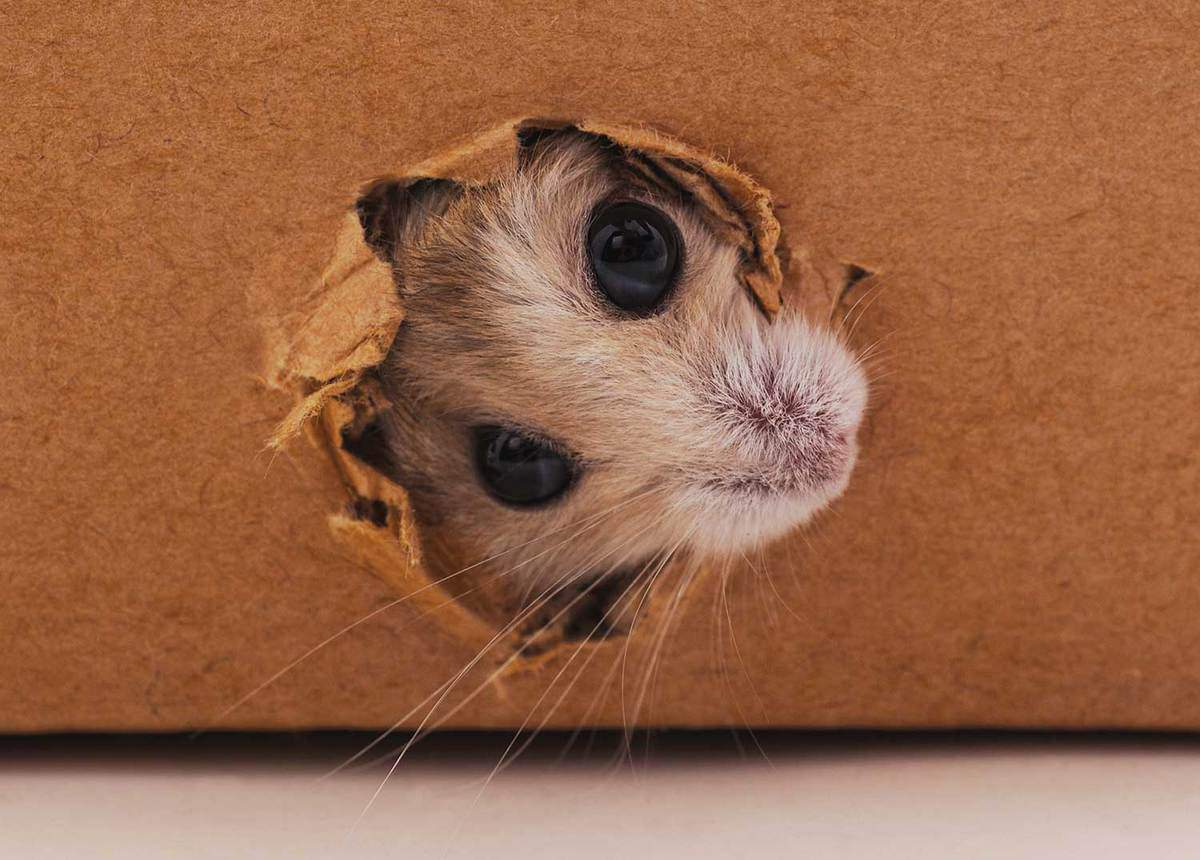 White hamster chewing a cardboard box