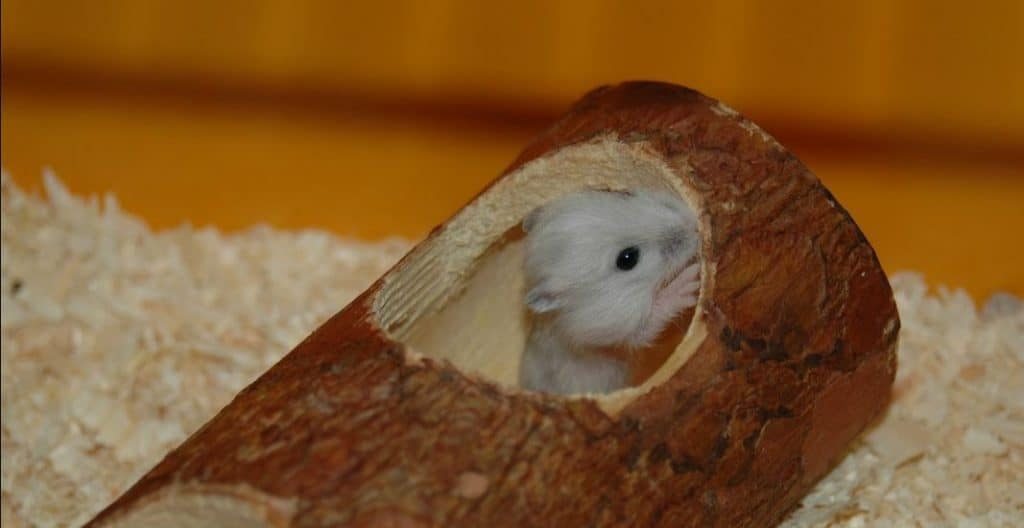 How to Take Care of Baby Hamsters – Hamsters 101