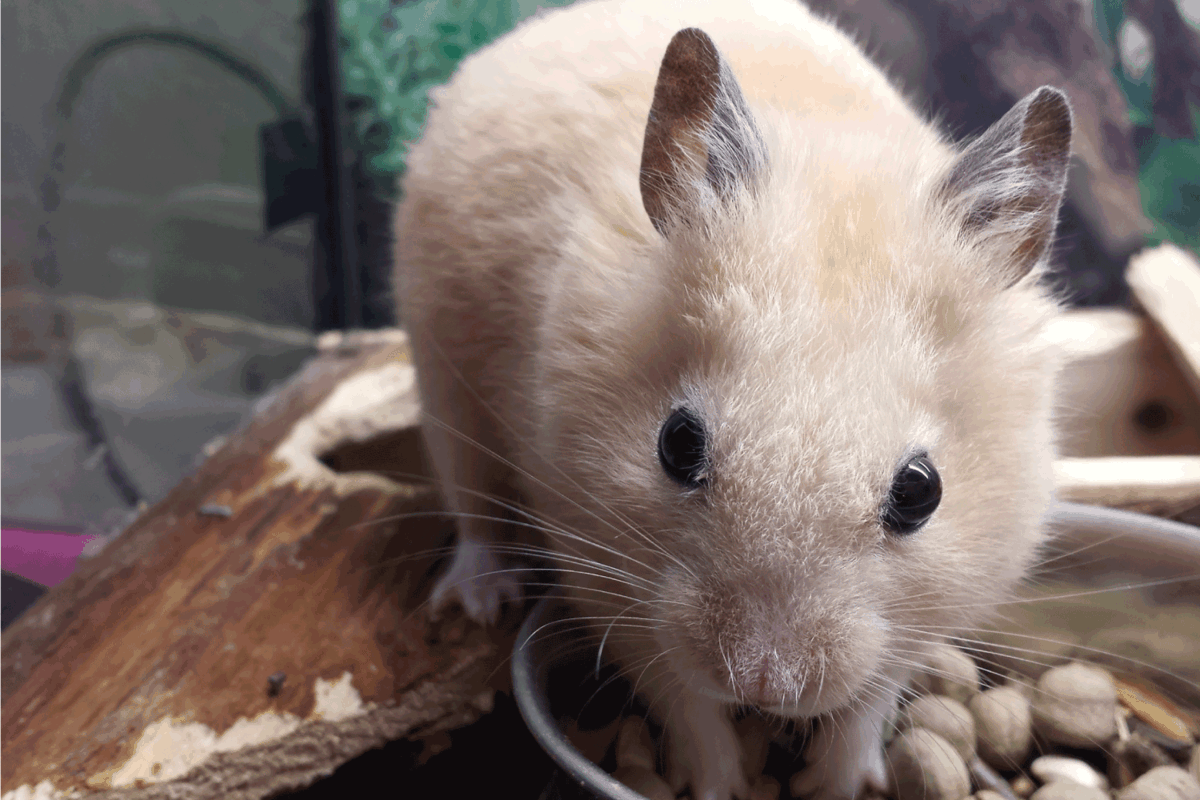 cinnamon hamster smells nice meal with satisfaction