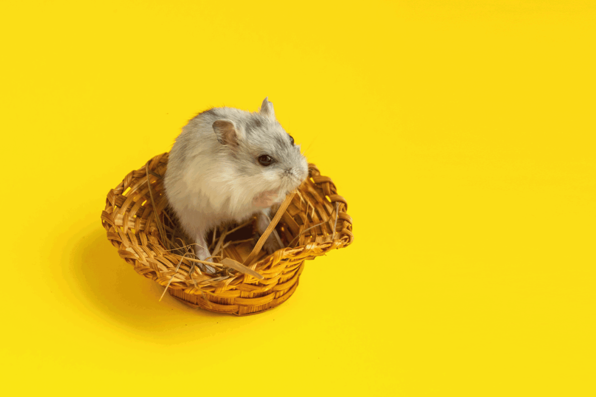 light grey small Dzungarian hamster is sitting in a brown wicker basket on a yellow background