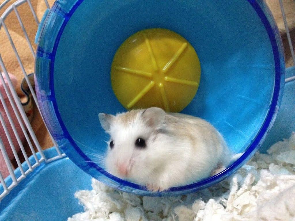 A roborovski dwarf hamster named Ichigo on the hamster wheel