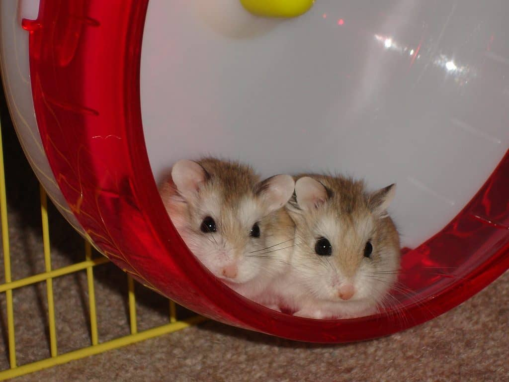 Can Hamsters Live Together in the Same Cage? – Hamsters 101