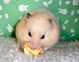 Hamster Treat