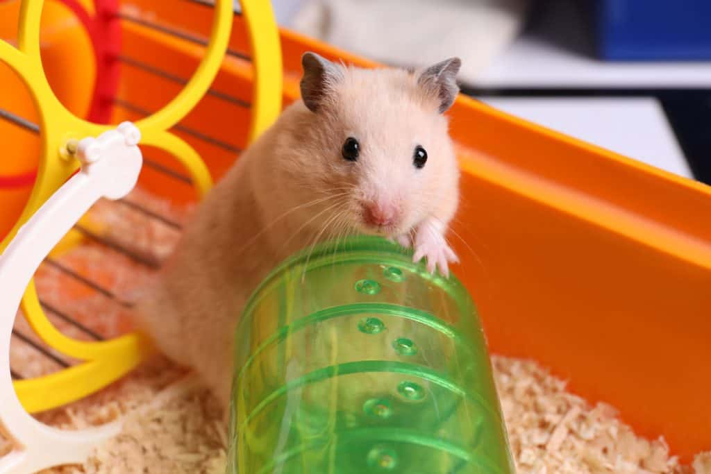 A Syrian hamster watching his