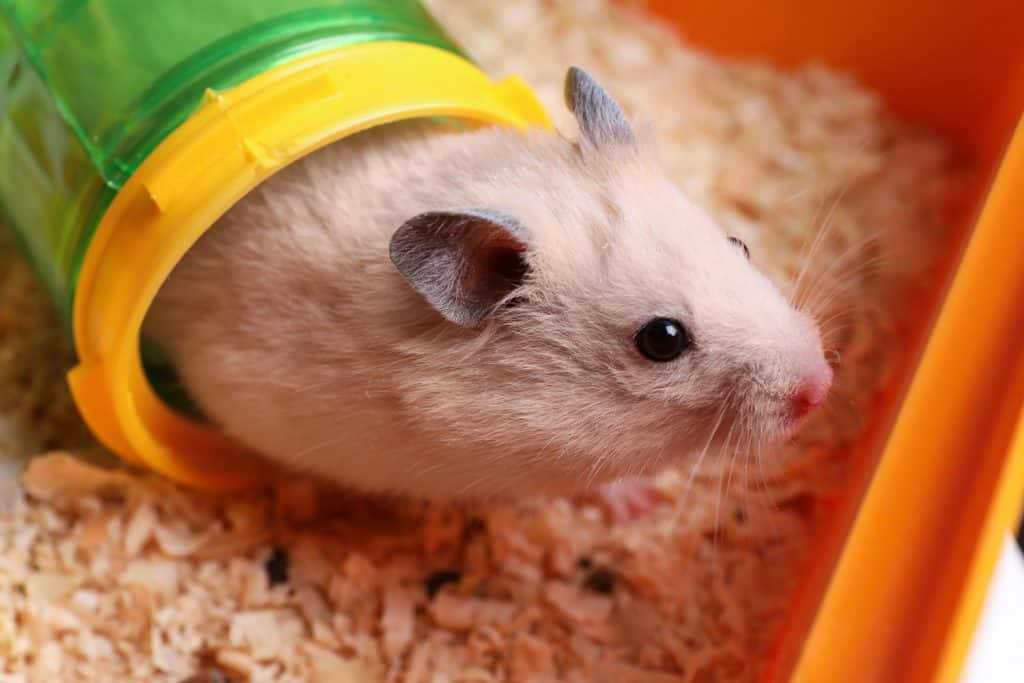 A cute Syrian hamster crawling out of his green colored tunnel