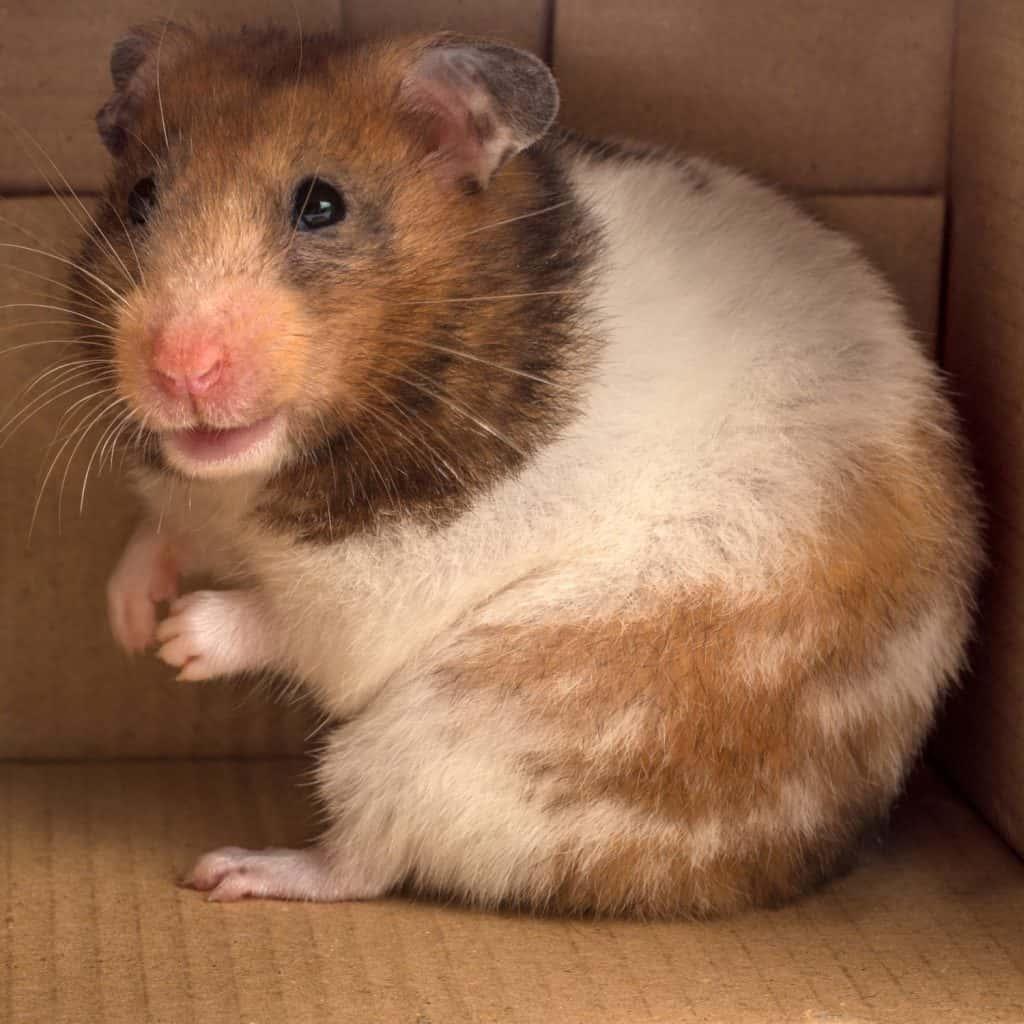 A cute Syrian hamster sitting inside his cardboard box house