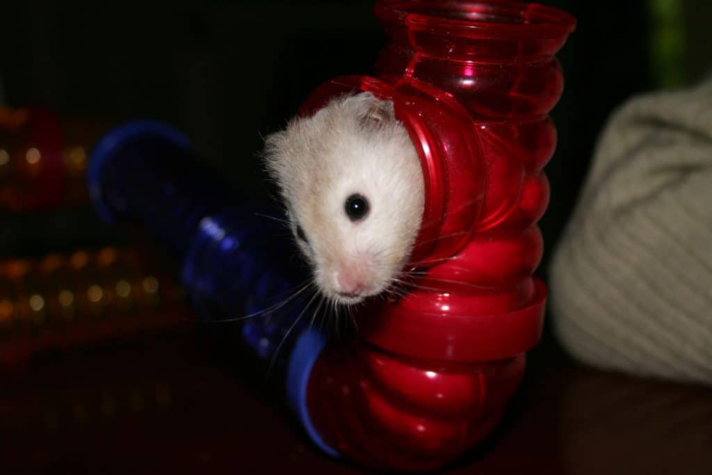 A cute little hamster crawling out of his red commercial bought tunnel