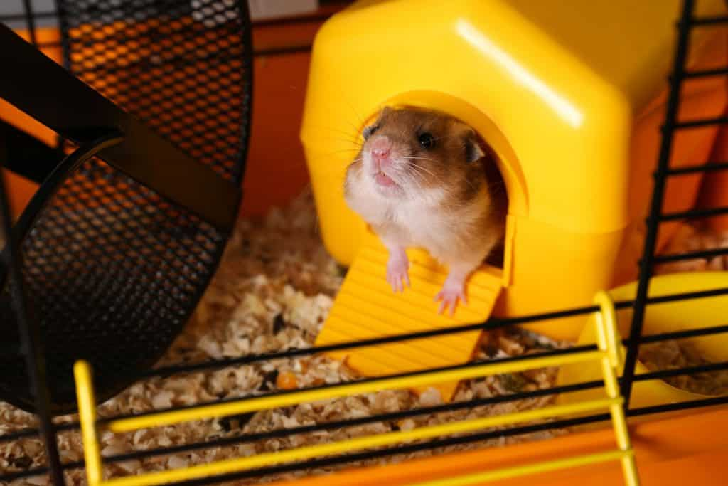 A cute little hamster peeking outside his yellow sleeping house inside his cage