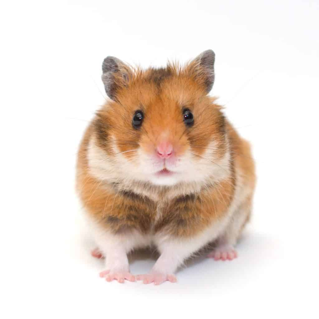 A cute pure breed Syrian hamster looking at the camera