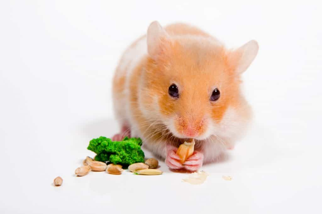 A hamster eating a delicious diet on a white background