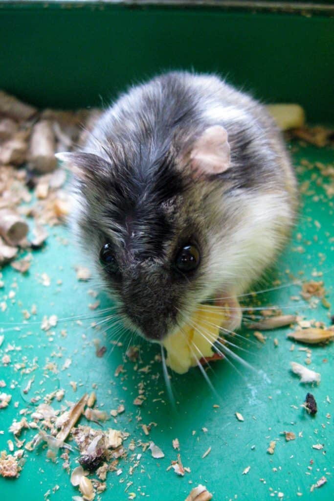 A hamster eating a small piece of cheese
