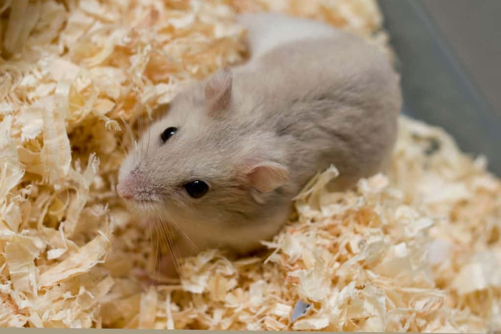 A hamster sleeping happily in his new bed wooden shavings