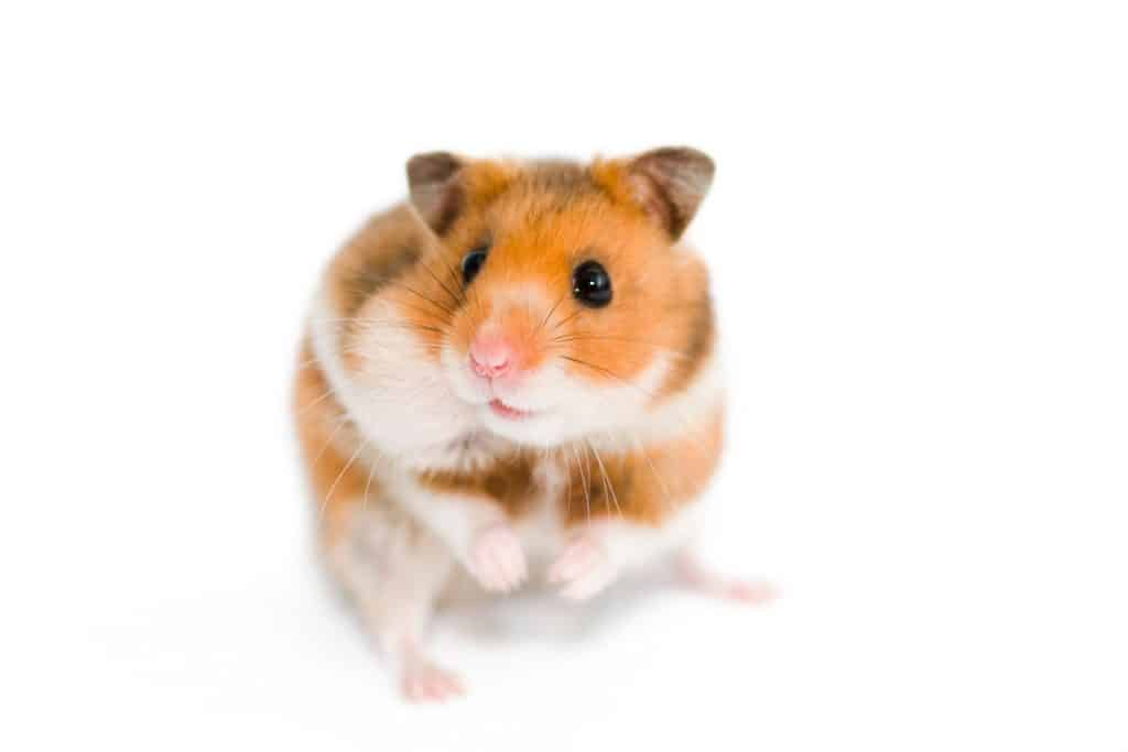 A small Syrian hamster standing on a white background