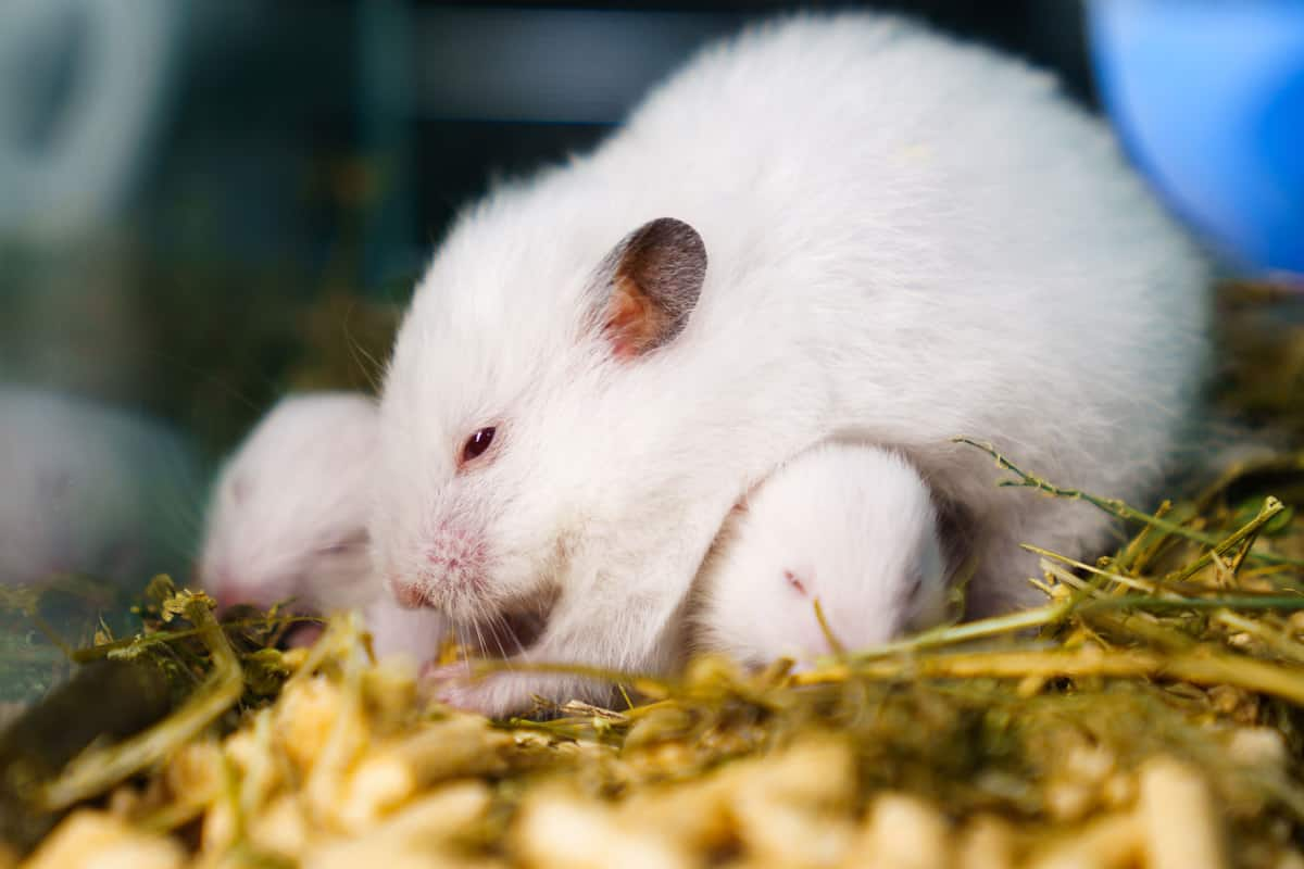 A white Syrian hamster protecting and warming his toddlers