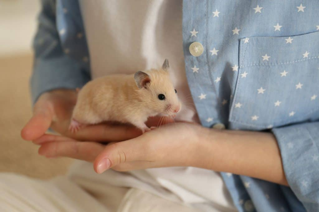 A woman gently holding her hamster on her hands