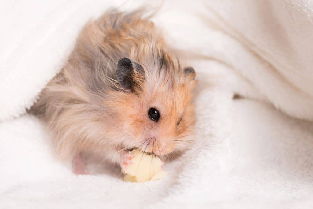 A hamster eating a piece of bread