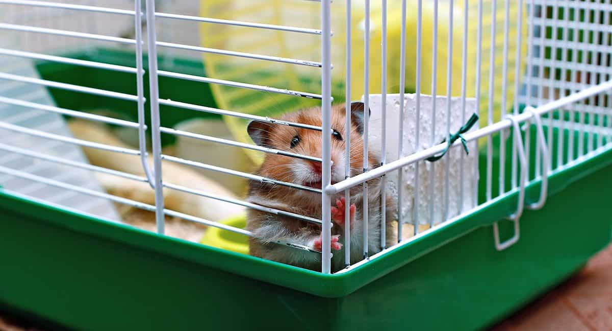 Brown Syrian hamster gnaws inside a cage