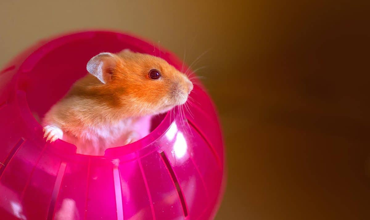 Cute Syrian hamster poking her head out of a bright red exercise ball