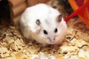 Can Hamsters Get Fleas? (And What to Do If That Happens)