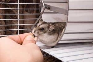 Read more about the article Can Hamsters Get Rabies? (And What You Need to Do About It)