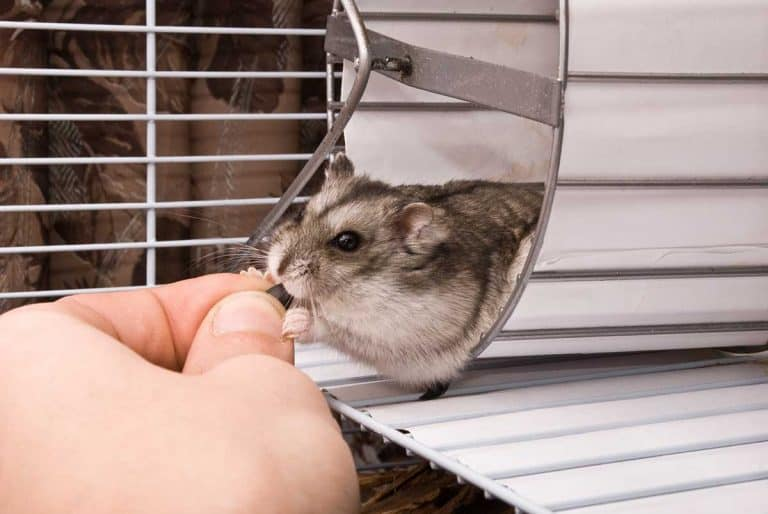 Can Hamsters Get Rabies? (And What You Need to Do About It)