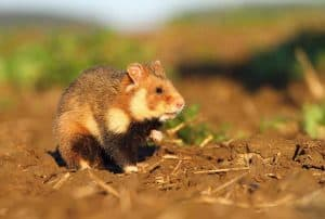 Do Hamsters Exist in the Wild?