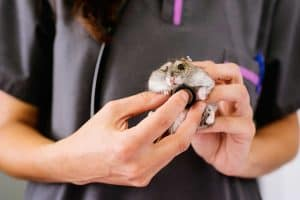 Do Hamsters Need Vet Care?