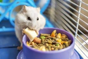 Why do hamsters die? (And how to help them live longer