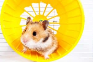 Read more about the article The Complete Guide to Hamster Wheels and Spinners