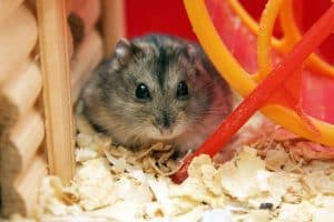 Read more about the article What Kind of Hamster Do I Have?