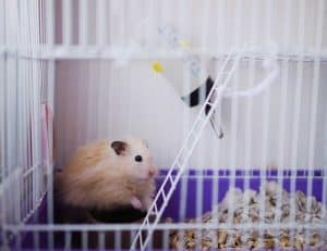Where Should I Put My Hamster's Cage?