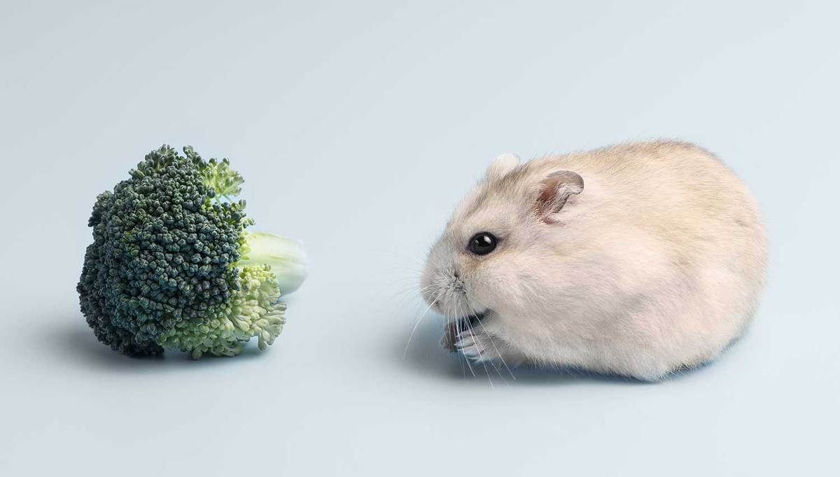 Feeding Dwarf furry hamster with broccoli