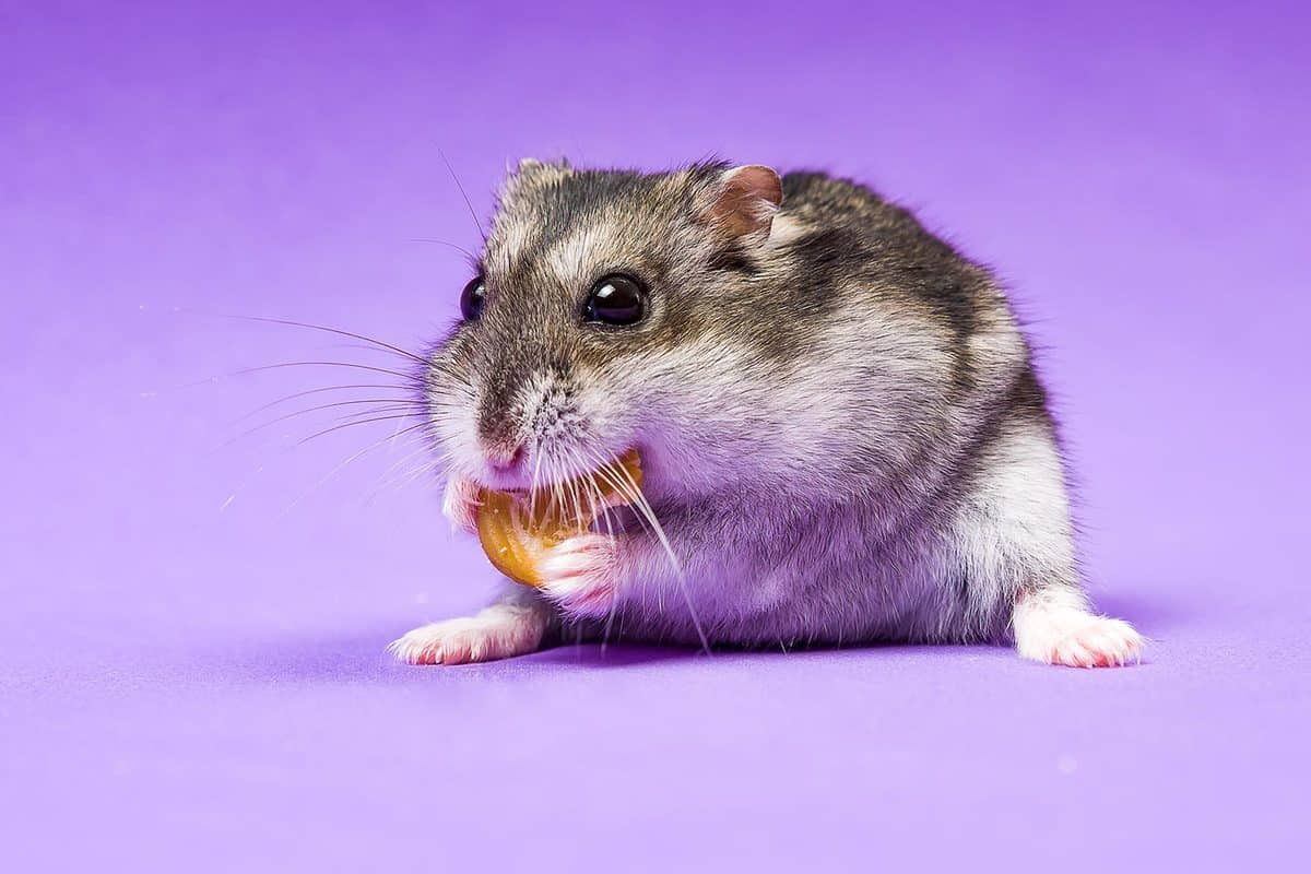 Gray Siberian hamster on a lilac blue background