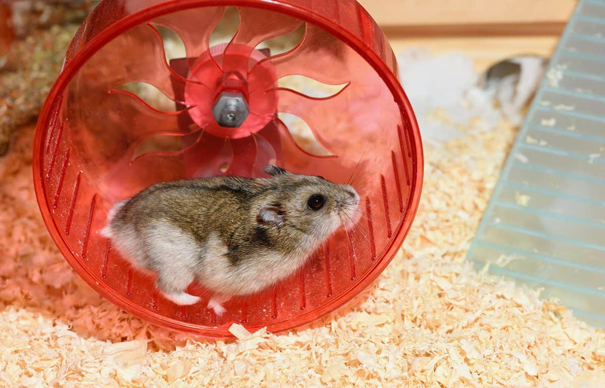 Hamster is running in its running wheel in a cage