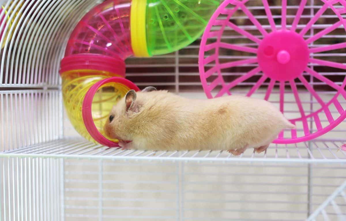 Hamster playing around his cage