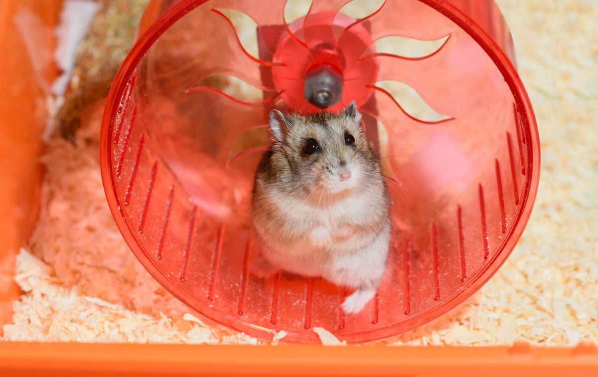 Hamster standing on its hind legs in a red plastic running wheel