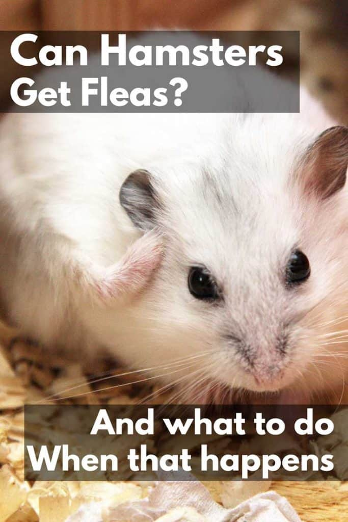 Hamster itching scratching its body, Can Hamsters Get Fleas? (And What to Do If That Happens)