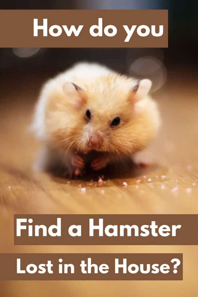 How Do You Find a Hamster Lost in the House?