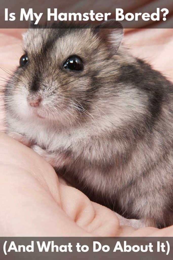 Is My Hamster Bored? (And What to Do About It)