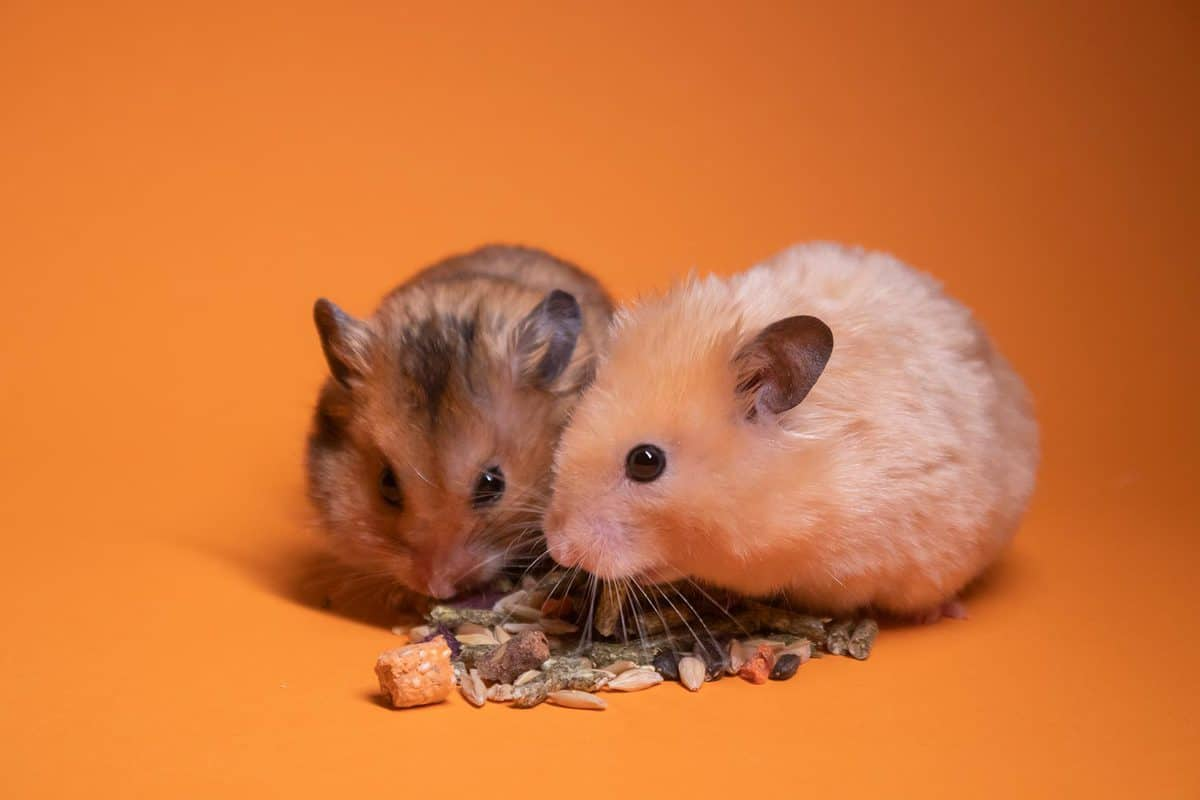 Two brown and beige hamsters eating food