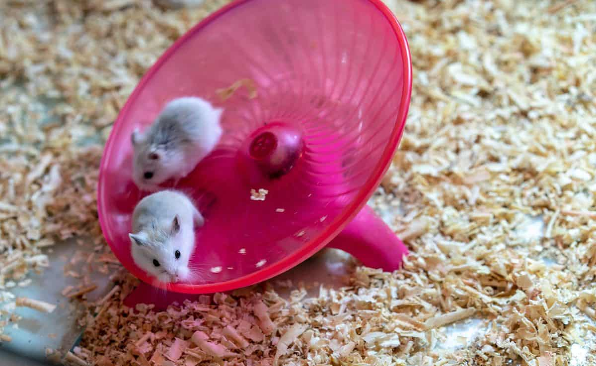 White hamsters doing some exercise on pink round wheel flying saucer toy