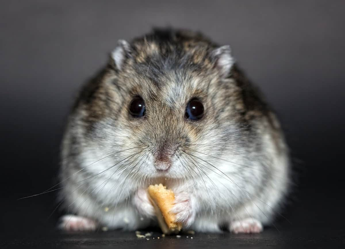 Front view of a cute hamster eating its food
