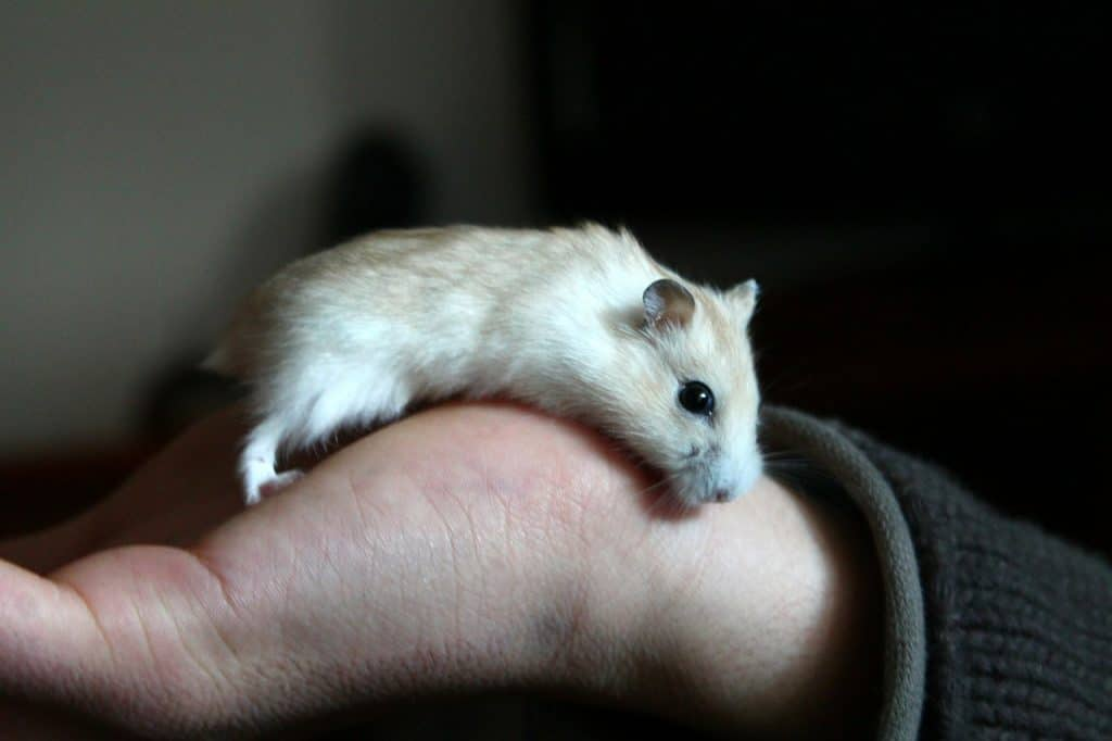 Hamster in a human hand