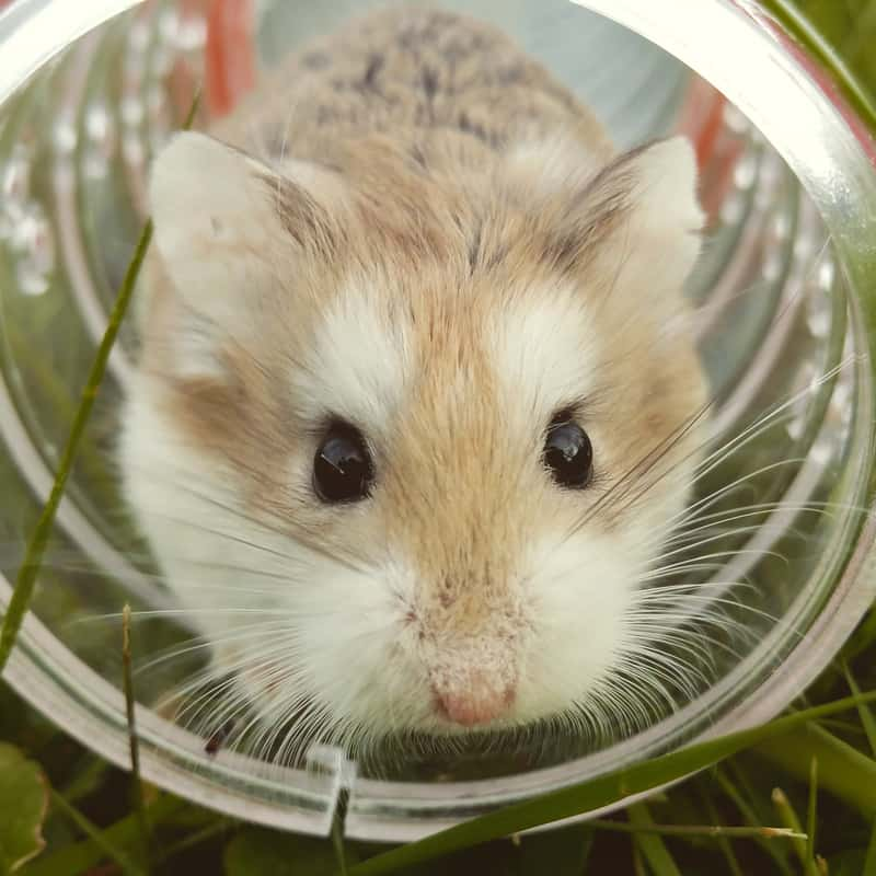 Front view of a hamster playing inside a tunnel