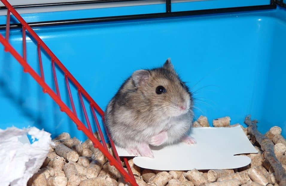 Brown and white hamster in cage