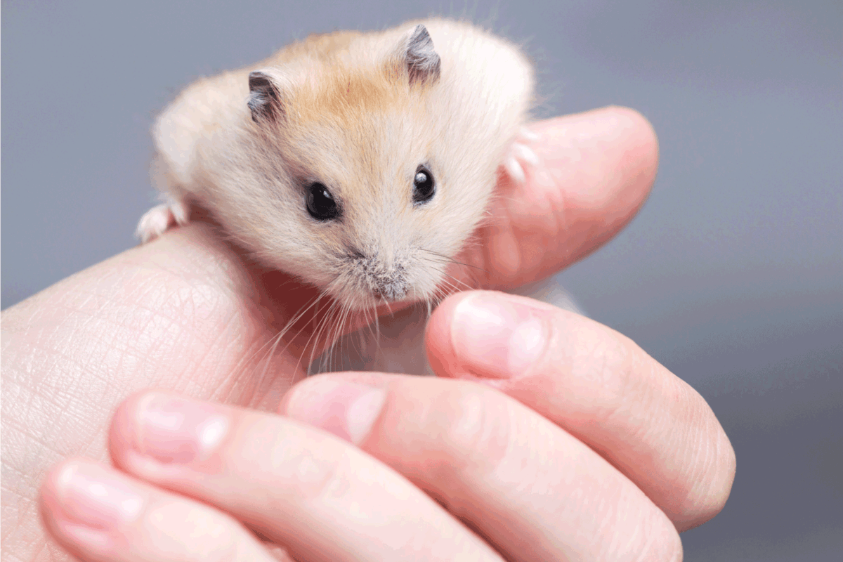 hamster on the hand of a lady